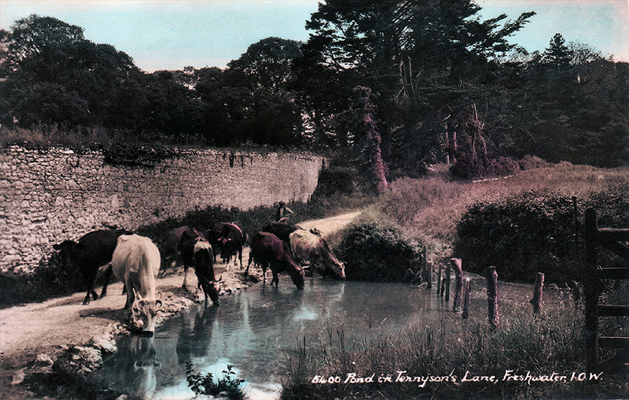 Postcard of cows drinking from a stream next to Farringford House.